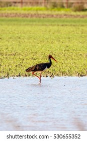 Sweet landscape of Black Stork in wetlands in natural reserve and national park Donana, Andalusia, Spain. This natural reserve is one of places where Black stork arrives in migration