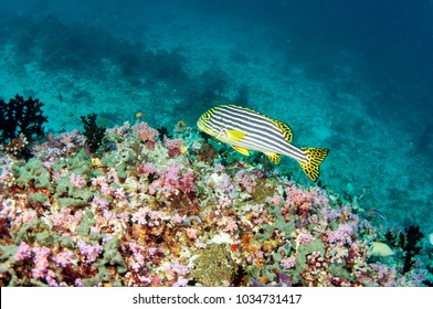 Sweet lips fish and colorful coral reef, Maldives.