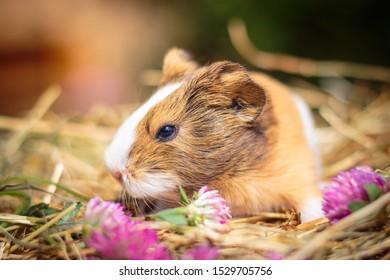 sweet little Baby Guinea Pig