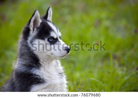 Sweet Little Baby Husky On Grass Stock Photo Edit Now 76079680