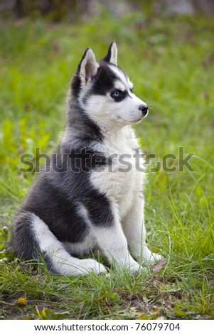 Sweet Little Baby Husky On Grass Stock Photo Edit Now 76079704