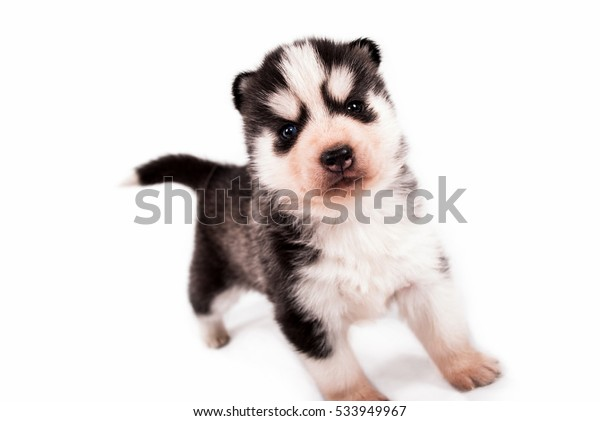Sweet little baby puppy Siberian Husky posing on a white background