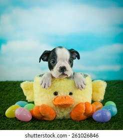 Sweet little Boston puppy sitting in an Easter basket with Easter eggs around him, with copy space.