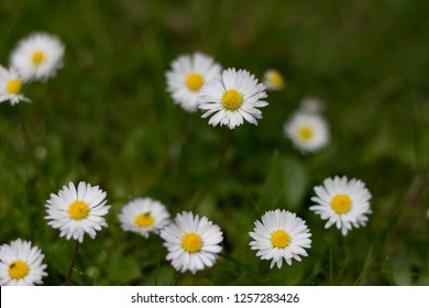 sweet little daisy's in the grass