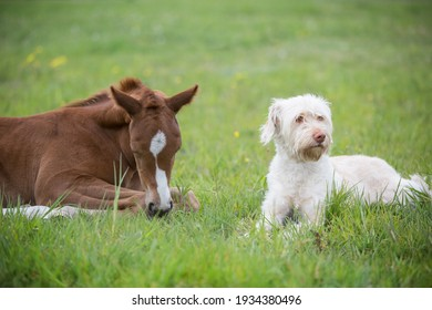 Sweet little foal and a dog on a green lawn animal friendship between two