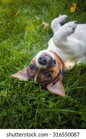 A sweet little Jack Russel puppy is laying humble on green grass and looks naughty into your eyes.
