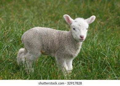 sweet little lamb on bright green grass