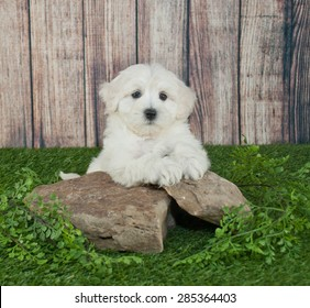 Sweet little Maltipoo puppy laying outdoors on rocks with ivy around them, with copy space.