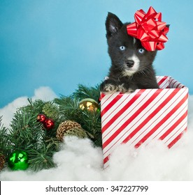 Sweet little Pomsky puppy peeking out of a Christmas gift with a red bow on his head, sitting in the snow with Christmas decor around him. On a blue background with copy space.