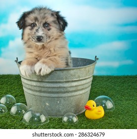Sweet little puppy sitting in a bath tub outdoors with bubbles and a rubber ducky around him, along with copy space.