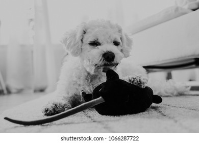 Sweet little white dog playing with her black toy lying on the carpet. Lifestyle indoor photography.