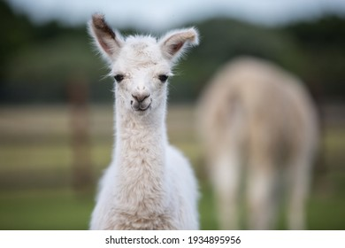 sweet little white lama baby fluffy fur and sweet face with funny ears
