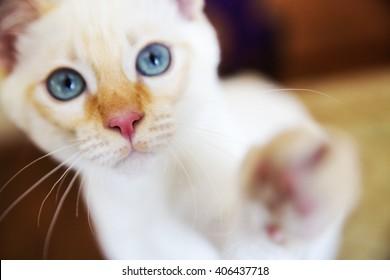 Sweet little white Mekong bobtail cat portrait