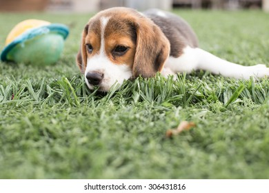 Sweet Litttle Beagle Puppy's laying dawn on the glass