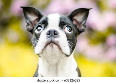 sweet look of boston terrier puppy