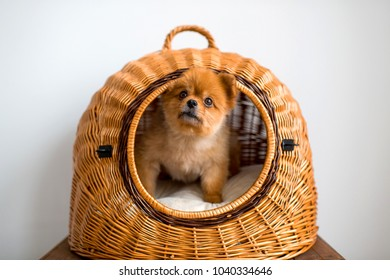 Sweet lovely adorable new born little pomeranian furry puppy with kind muzzle and innocent eyes looking out of wicker dog house. Pretty fluffy dog on white background. Tender purebred canine at home