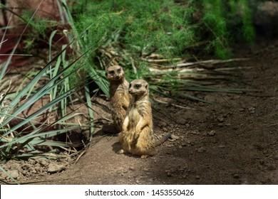 Sweet meerkats standing around plants