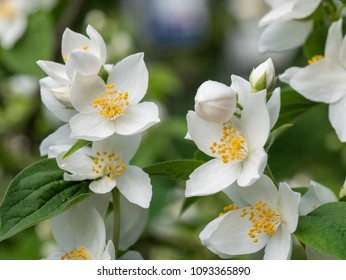 4 petal dogwood images stock photos vectors shutterstock sweet mock orange or english dogwood philadelphus coronarius flowers with four petals mightylinksfo