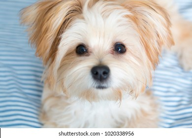 Sweet Morkie Puppy looking directly at the camera. Designer dog breed