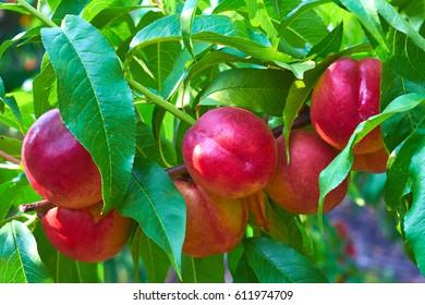 sweet nectarines on tree