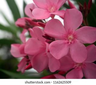 Sweet Oleander, Rose bay in bright pink coler, beautiul and romantic flower.