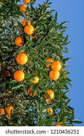 Sweet Orange (Citrus sinensis) in orchard, Abkhazia