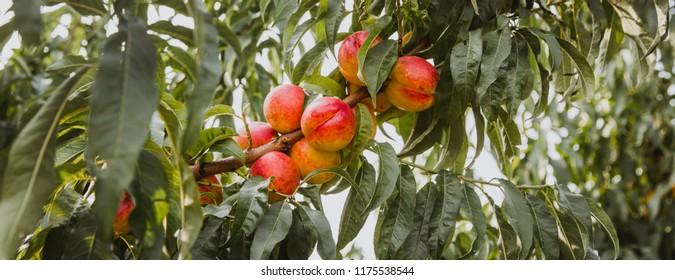 Sweet organic nectarines on tree in big garden. Banner