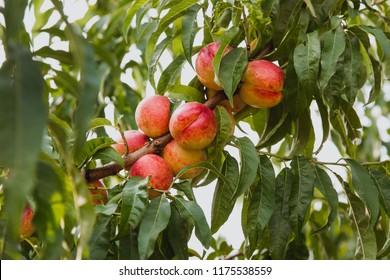 Sweet organic nectarines on tree in big garden
