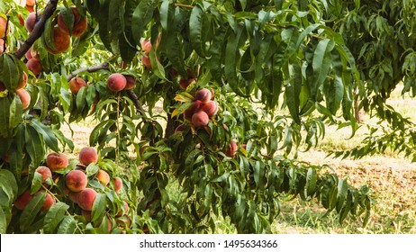Sweet organic peaches on tree in big garden. Banner. Summer. Autumn
