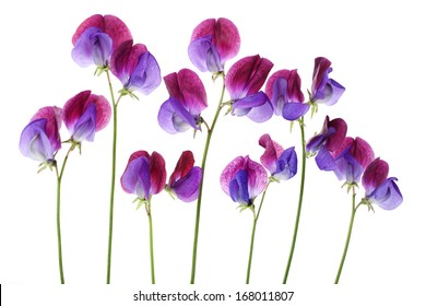 Sweet Pea 'Cupani' flowers arranged in a row isolated on white background with shallow depth of field