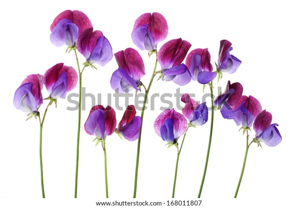 Sweet Pea Cupani Flowers Arranged Row Stock Photo (Edit