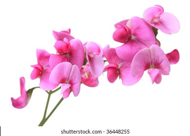 Sweet Pea dark pink flowers isolated on white background