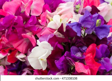 Sweet Pea Flower Images Stock Photos Vectors Shutterstock