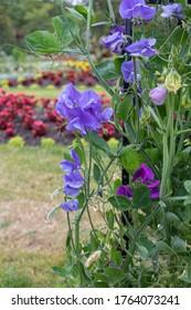 Sweet Pea Flowers - Lathyrus latifolius.