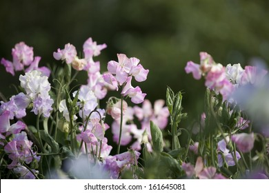 Sweet Pea Flowers Lathyrus odoratus