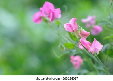 Sweet pea flowers on natural background