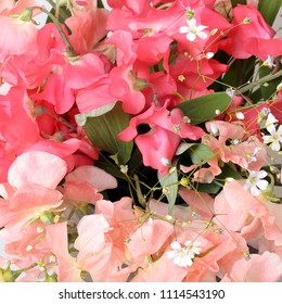 Sweet pea (lathyrus odoratus) flowers close up fragrant pink floral background