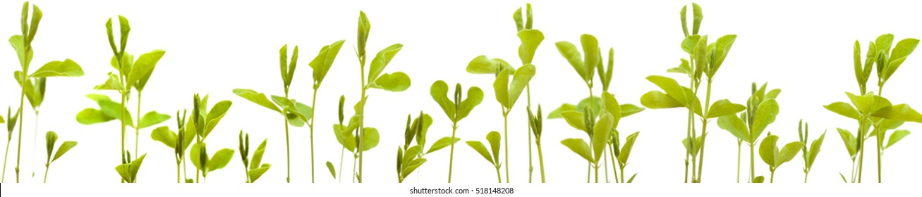 sweet pea new plants isolated on white background low edge boder, repeatable and seamless