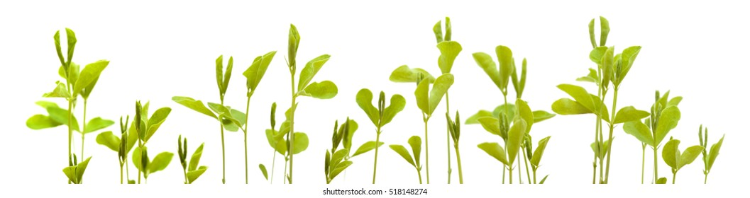 sweet pea new plants isolated on white background, low edge border