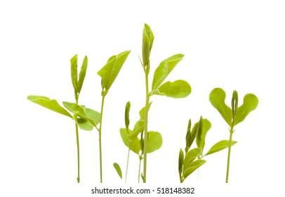 sweet pea new plants isolated on white background