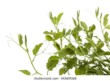 sweet pea plants growing, isolated on white background
