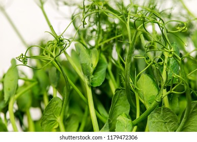 Sweet pea sprouts, close up to texture of young sweet pea sprouts