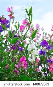 Sweet pea vines against a blue sky