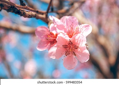 sweet peach blossoms in early spring, bees food