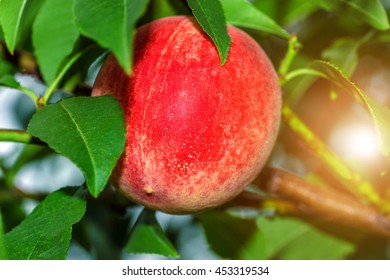 Sweet peach fruits growing on a peach tree branch in summer