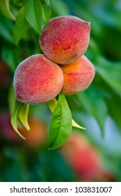 Sweet peaches growing on a peach tree branch