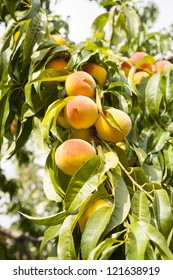 Sweet peaches growing on a peach tree branch with many other peaches blurred in background