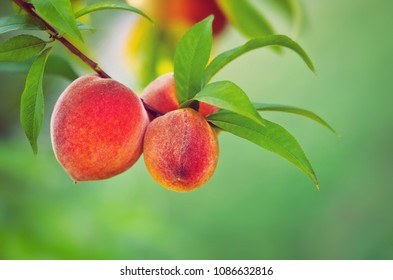 Sweet peaches ripening on a tree branch. Natural smooth green background with copy space.