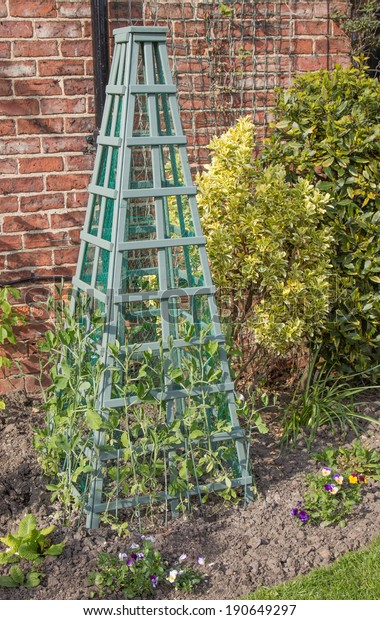 sweet peas planted out with obelisk support in border