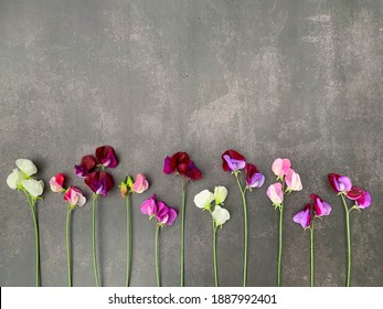 Sweet peas, in a row, gray grungy background. Minimalist design, photography from above, flat lay. Backdrop, banner, perfect for social media, greeting or invitation cards, copy space, place for text.